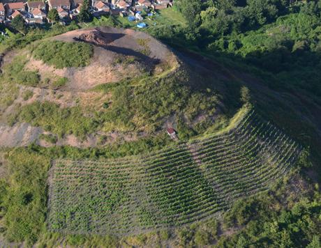 vignes plantées sur un terril