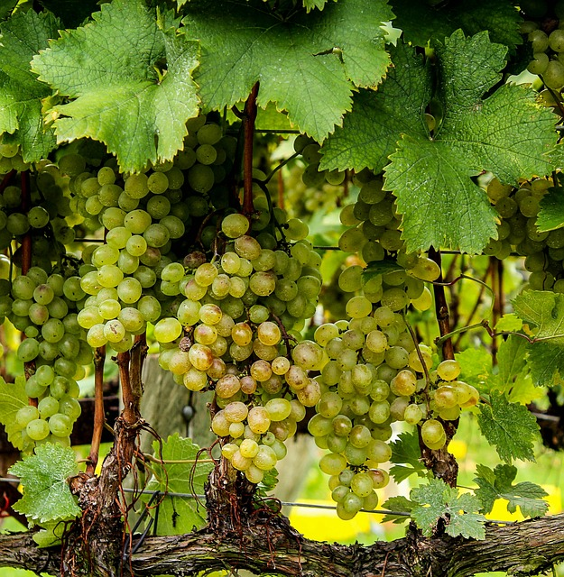 grappes de raisins blancs sur vigne