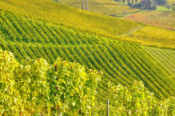Paysage vigne en Champagne