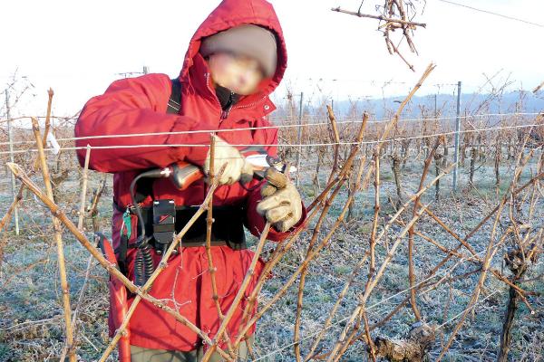 Reprise des travaux de la vigne en hiver avec la taille et le choix des sarments