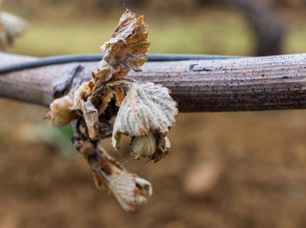 ravages sur bourgeon de vigne gelée