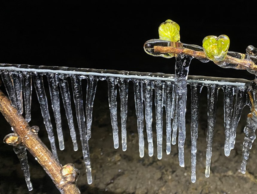 Vigne gelée au domaine des Huards